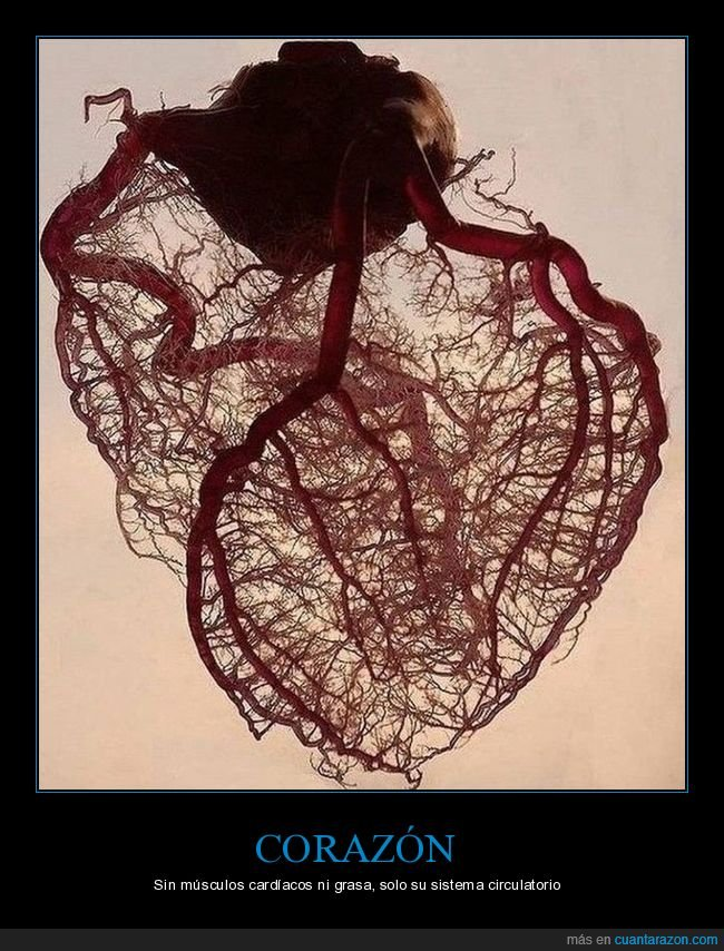 corazón,curiosidades,sistema circulatorio