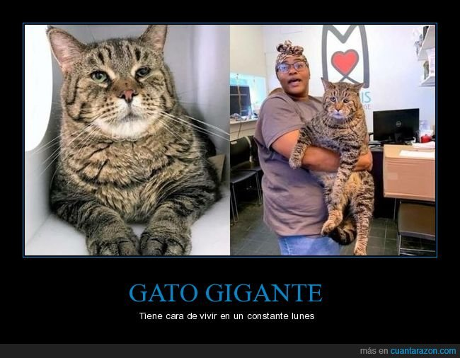 cara,gato,gigante