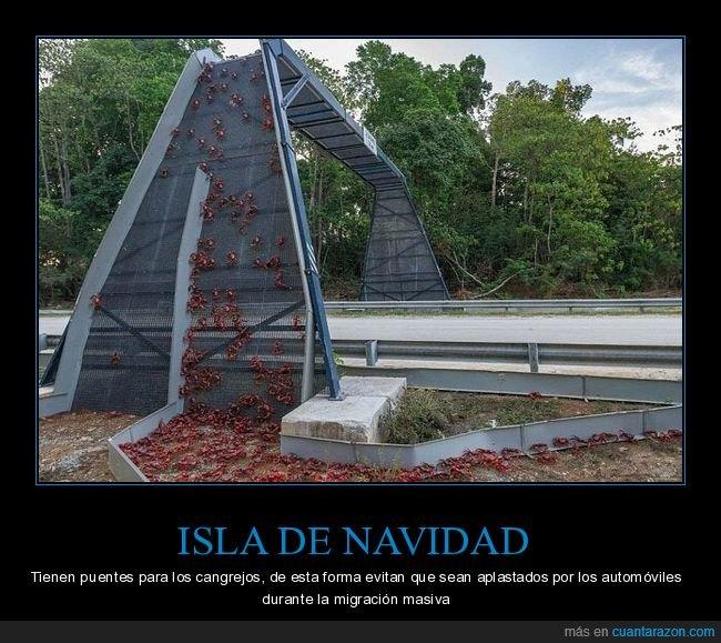 cangrejos,isla de navidad,migración,puente