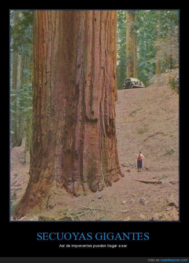 árbol,gigante,secuoya