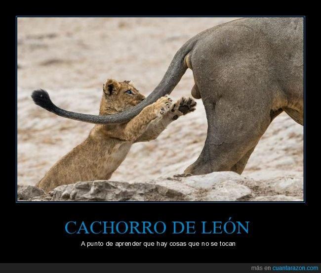 cachorro,leones,momento exacto
