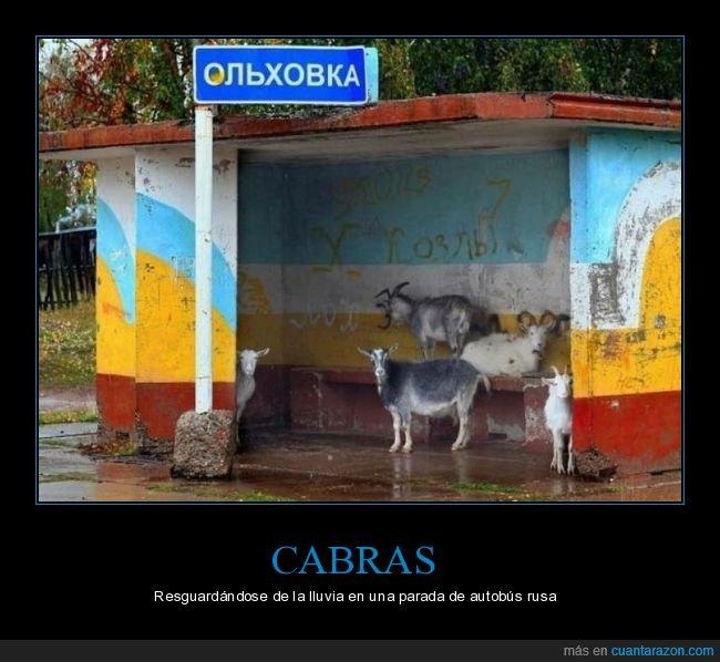 cabras,lluvia,parada de autobús,resguardándose