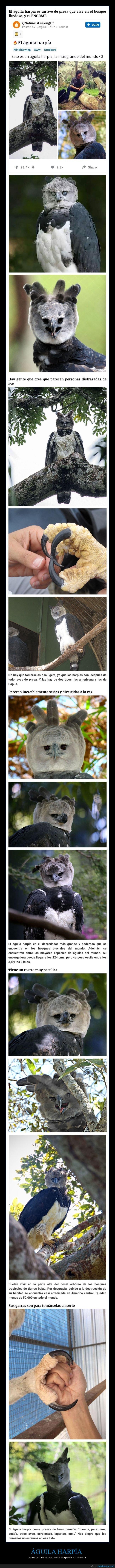 águila,águila harpía,curiosidades,grande