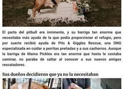 Enlace a Esta pitbull tuvo su propia sesión de fotos de maternidad y sale radiante
