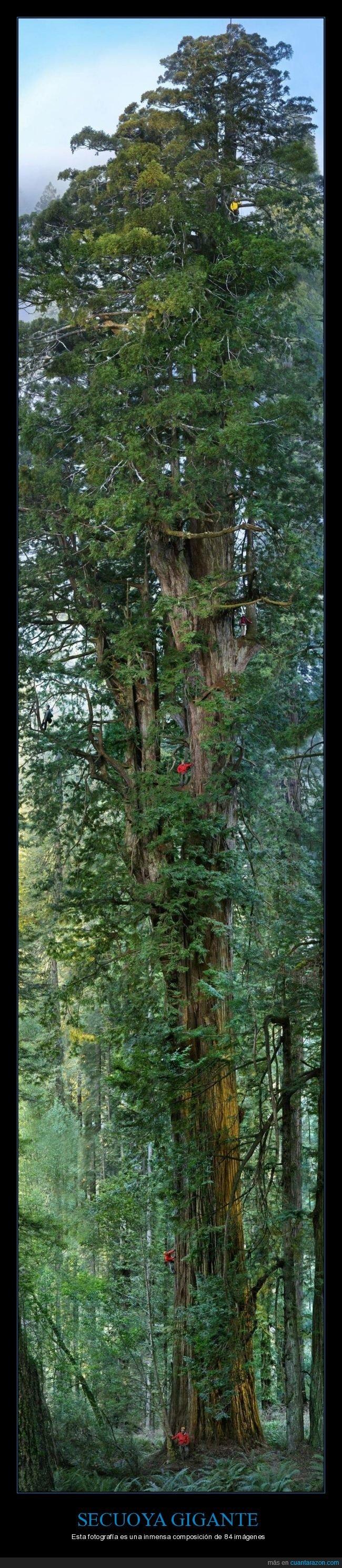 árbol,composición,fotografías,gigante,secuoya