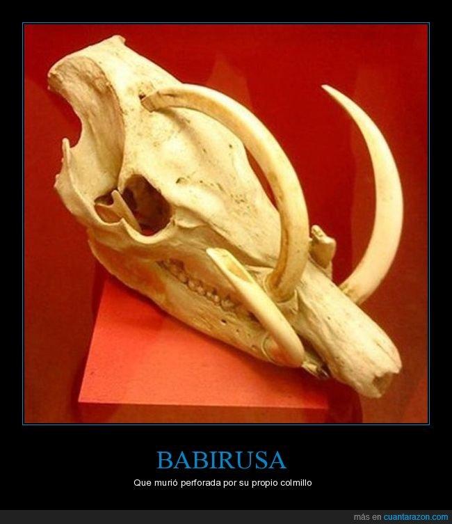 babirusa,colmillo,perforada