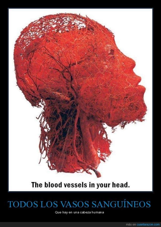 cabeza,curiosidades,vasos sanguíneos