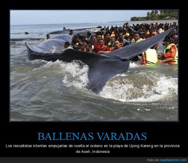 ballenas,rescatando,varadas