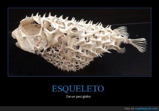 curiosidades,esqueleto,pez globo