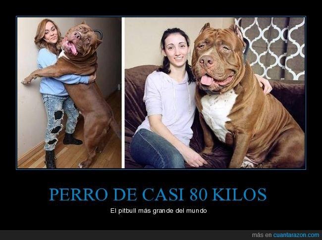 gigante,perros,pitbull