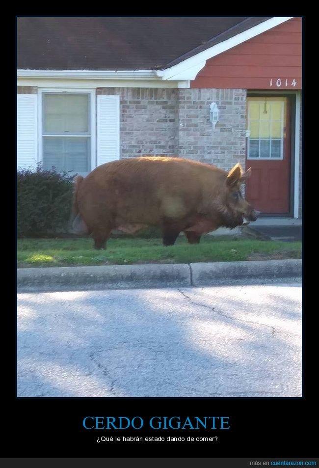 cerdo,gigante,wtf