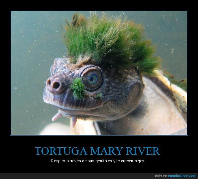 algas,mary river,respirar,tortuga