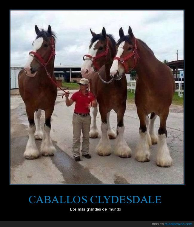 caballos,clydesdale,grandes