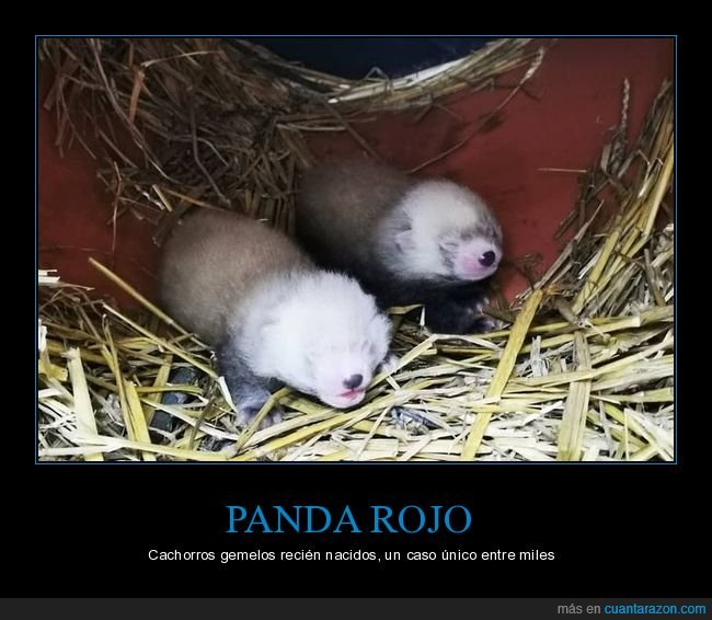 cachorros,gemelos,panda rojo