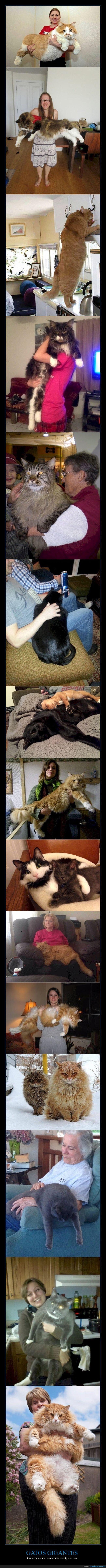gatos,gigantes