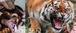 Enlace a El tigre del diente de oro