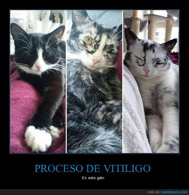 gatos,proceso,vitiligo