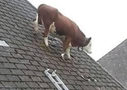 Enlace a Vaca rebelde