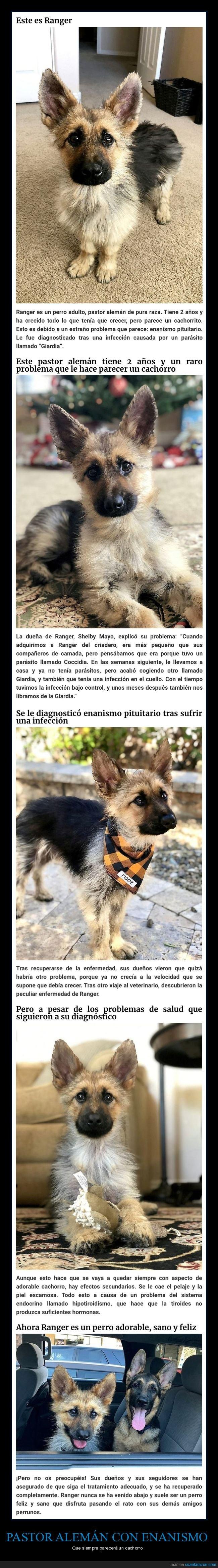 cachorro,enanismo,pastor alemán