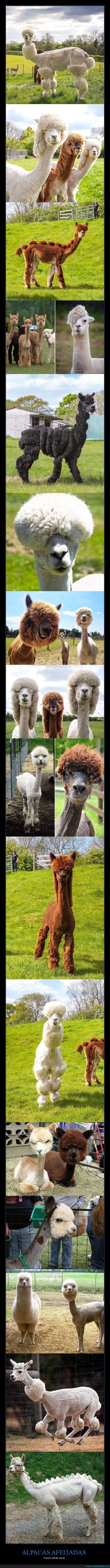 afeitadas,alpacas,wtf