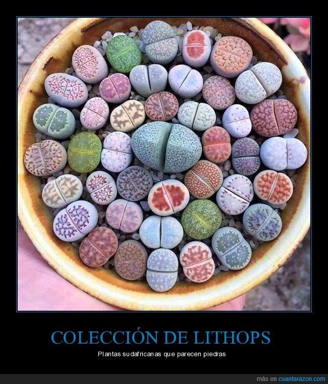 lithops,piedras,plantas