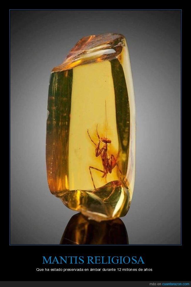 ámbar,mantis,preservada