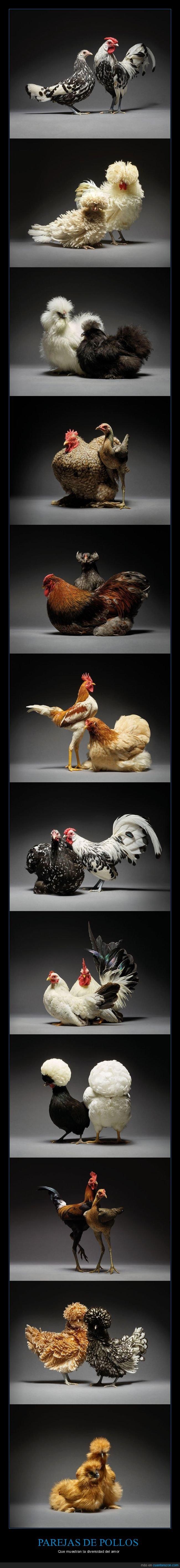 diversidad,parejas,pollos