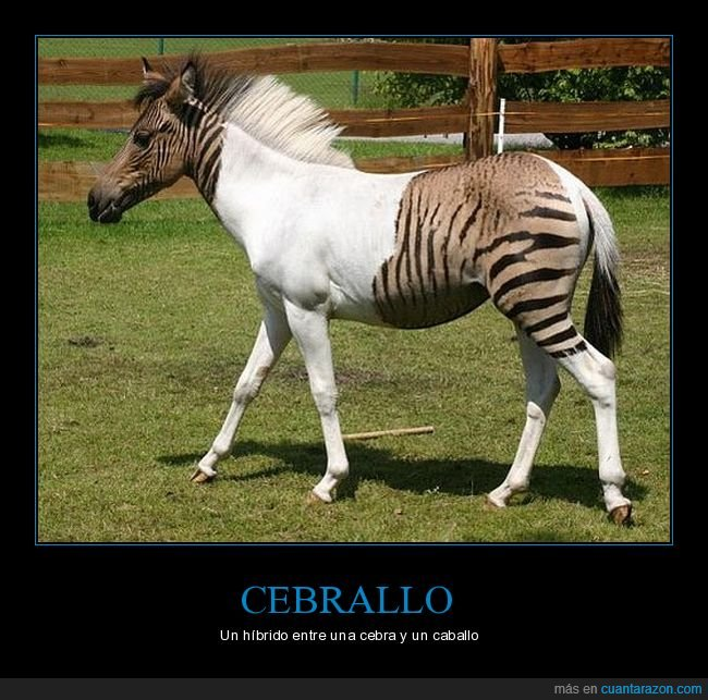 caballo,cebra,cebrallo,híbrido