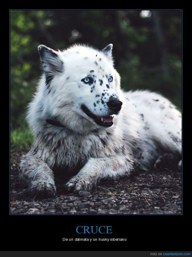 cruce,dálmata,husky siberiano