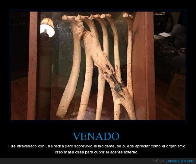 flecha,masa ósea,venado