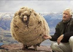 Enlace a La oveja rebelde