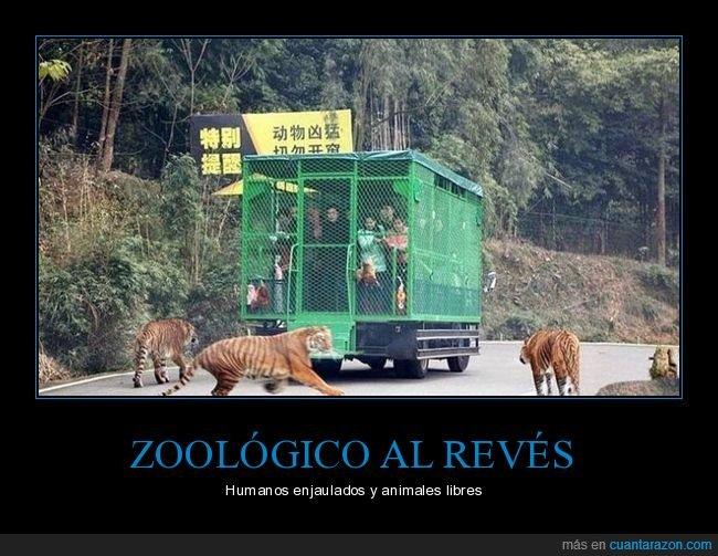 al revés,animales,jaulas,libres,tigres,zoo