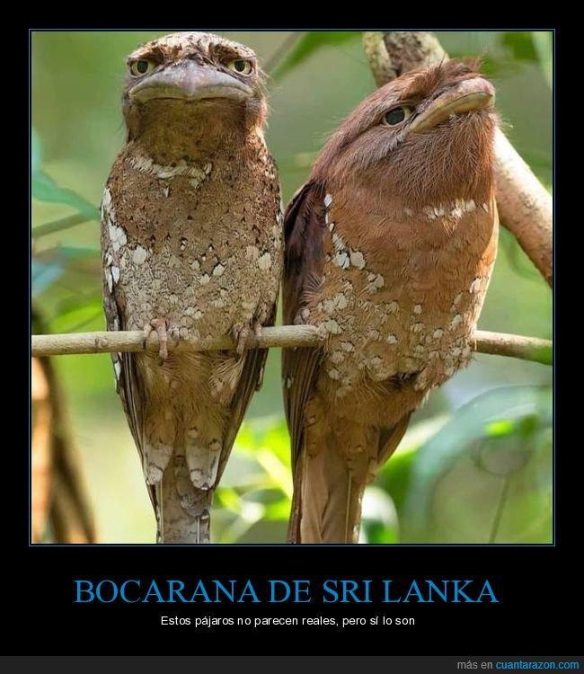 pájaros,podargos australianos,wtf