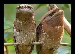 Enlace a Aves con boca de rana