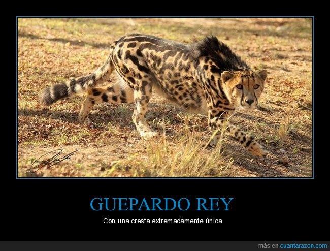 cresta,guepardo,guepardo rey