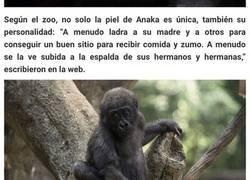 Enlace a Esta gorila ha nacido sin pigmentación en los dedos y sorprende a la gente