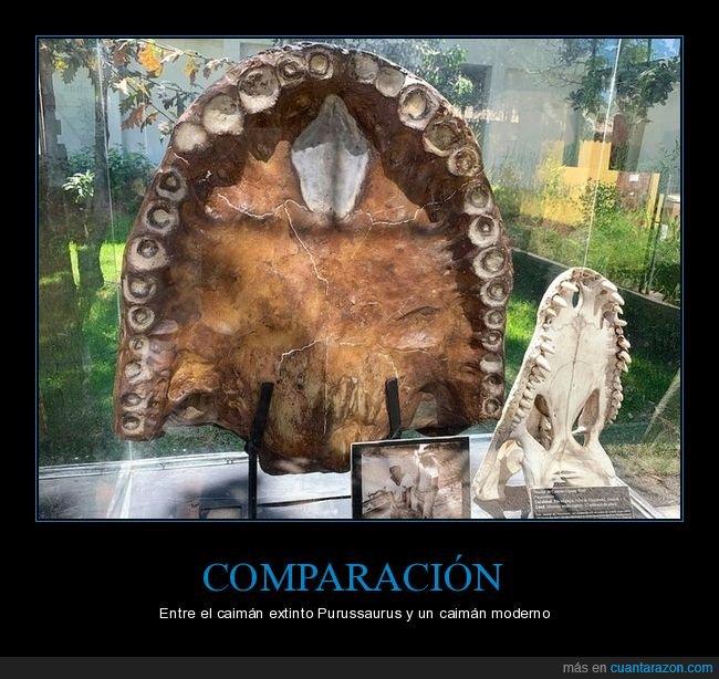 caimán,comparación,purussaurus