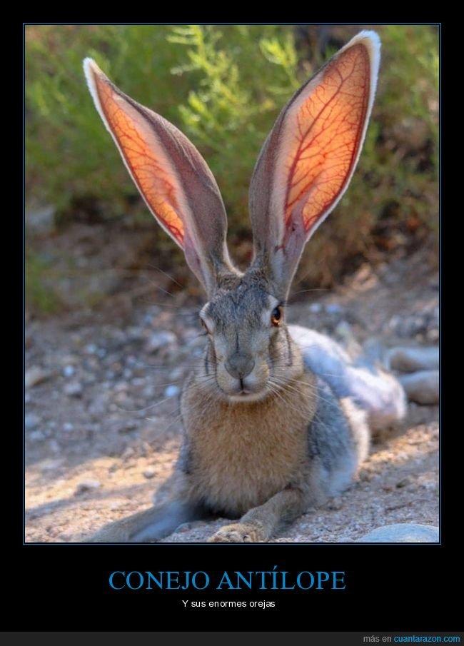conejo,conejo antílope,orejas