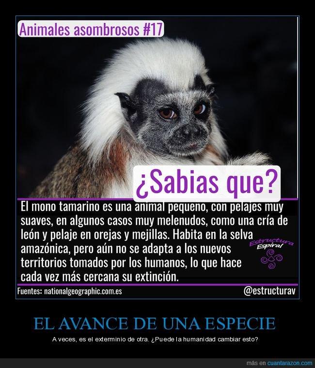 curiosidades,mono tamarino,peligro de extinción