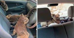 Enlace a Estos adolescentes australianos salvan todos los koalas que pueden buscándolos con su coche