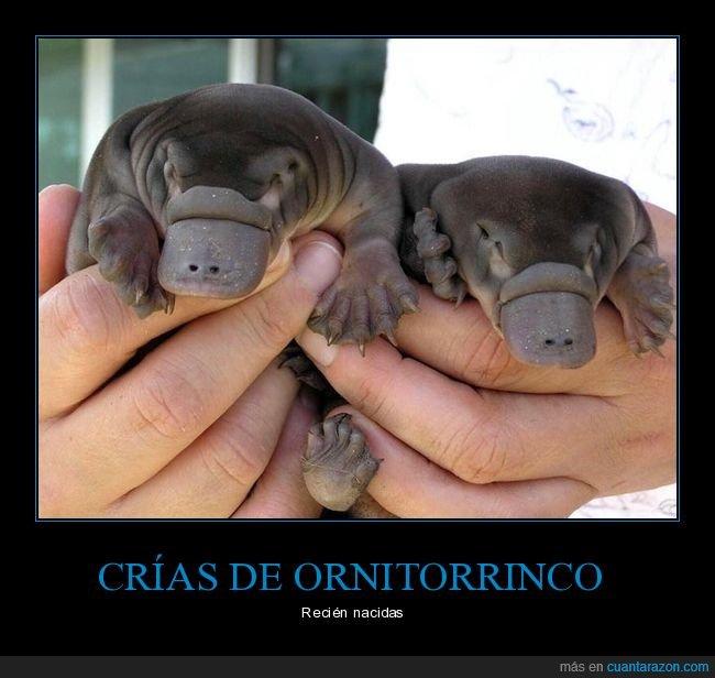 crías,ornitorrinco,recién nacidos