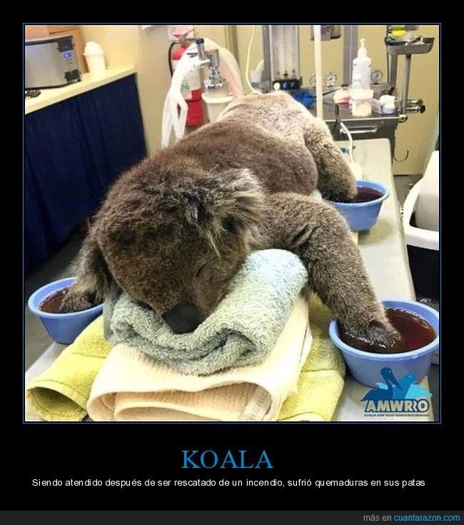 australia,incendios,koala,patas,quemaduras