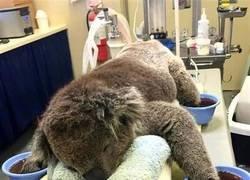 Enlace a Otra víctima de los incendios de Australia