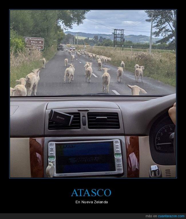 atasco,nueva zelanda,ovejas