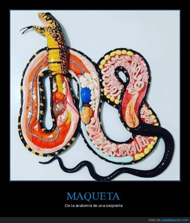 anatomía,curiosidades,maqueta,serpiente