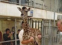 Enlace a Así se pesan las crías de jirafa