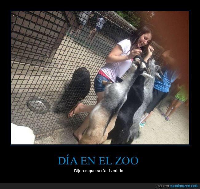 cabras,miedo,zoo