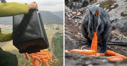 Enlace a Los animales supervivientes de los incendios de Australia se mueren de hambre, así que se están lanzando toneladas de vegetales desde aviones