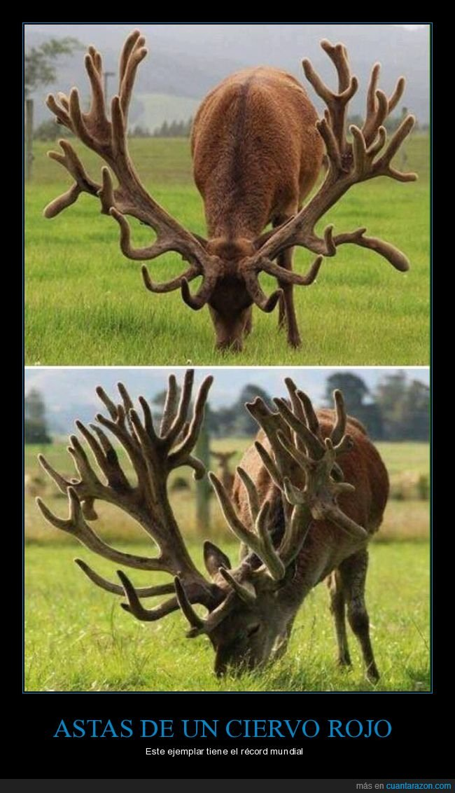 astas,ciervo rojo,récord