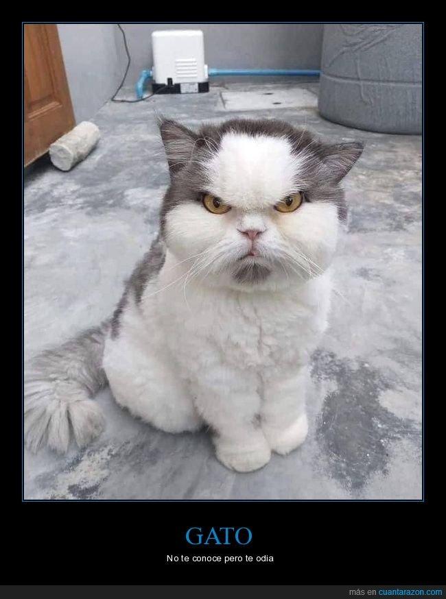 cara,enfadado,gato